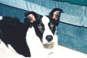 Stoan - Smooth-coated Border Collie